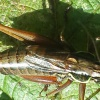 Roesel's Bush-cricket Metrioptera roeselii