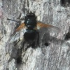 Noon Fly Mesembrina meridiana