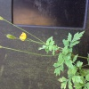 Welsh Poppy Meconopsis cambrica