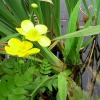 Greater Spearwort Ranunculus lingua