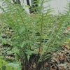 Polystichum setiferum | Soft Shield-fern
