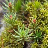 Bristly Haircap Polytrichum piliferum