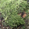Cypress-leaved Plait-moss Hypnum cupressiforme