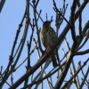 Turdus philomelos | Song Thrush