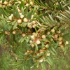 Yew Taxus baccata