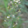 Shepherd's-purse Capsella bursa-pastoris