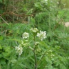 Cow Parsley Anthriscus sylvestris