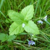 Wood Speedwell Veronica montana