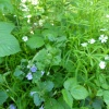 Ground-ivy Glechoma hederacea