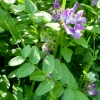 Bush Vetch Vicia sepium