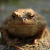 Bufo bufo | Common Toad