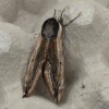 Privet Hawk-moth Sphinx ligustri