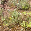 Common Cudweed Filago vulgaris