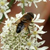 Tapered Drone Fly Eristalis pertinax