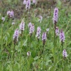 Common Spotted-orchid Dactylorhiza fuchsii