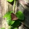 Pararge aegeria | Speckled Wood