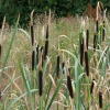 Bulrush Typha latifolia