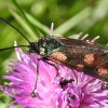 Narrow-bordered Five-Spot Burnet Moth Zygaena lonicerae