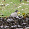 Collared Dove Streptopelia decaocto