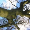 Quercus robur | Pedunculate Oak