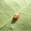 Oyster Gall Wasp Neuroterus anthracinus