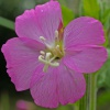 Great Willowherb Epilobium hirsutum