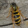 Common Wasp Vespula vulgaris