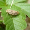 Common Froghopper Philaenus spumarius