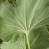 Hairy Lady's-mantle Alchemilla filicaulis