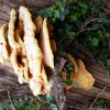 Chicken of the Woods Laetiporus sulphureus