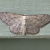Idaea seriata | Small Dusty Wave