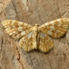 Hydrelia flammeolaria | Small Yellow Wave