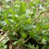 Common Chickweed Stellaria media