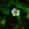 Barren Strawberry Potentilla sterilis