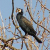 Cormorant Phalacrocorax carbo