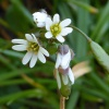 Common Whitlowgrass Erophila verna