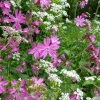 Red Campion Silene dioica