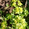 Opposite-leaved Golden Saxifrage Chrysosplenium oppositifolium