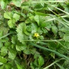 Yellow-flowered Strawberry Potentilla indica