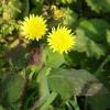 Smooth Sow-thistle Sonchus oleraceus