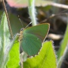 Green Hairstreak Callophrys rubi