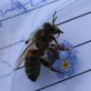 Honey Bee Apis mellifera