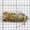 White-shouldered House-moth Endrosis sarcitrella