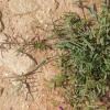Common Vetch Vicia sativa