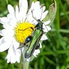 Swollen-thighed Beetle Oedemera nobilis