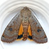 Large Yellow Underwing Noctua pronuba
