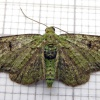 Green Pug Pasiphila rectangulata