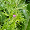 Cut-leaved Crane's-bill Geranium dissectum