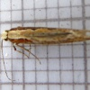 Diamond-back Moth Plutella xylostella