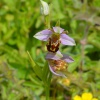 Bee Orchid Ophrys apifera